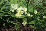 Primrose