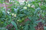 Fall Tomato Plant
