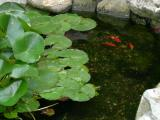 Part Of Pond With Fish