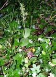 Twayblade Orchid